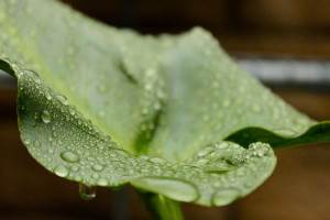 Leaf-and-water-drops-resized